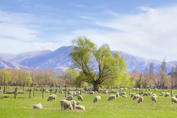New Zealand Farmland with Sheep