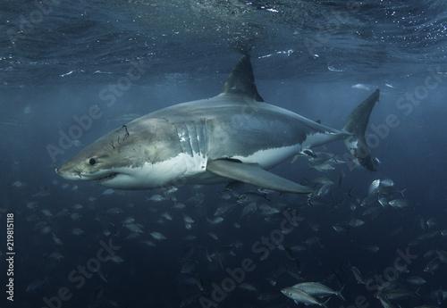 Obraz na dibondzie (fotoboard) Wielki biały rekin