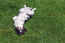 Happy Dog Lying Upside Down
