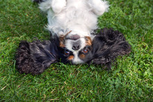 Happy Dog Lying Upside Down