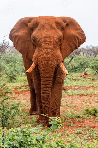 Plakat Byk słonia nie może polubić naszego samochodu w Zimanga Game Reserve w RPA
