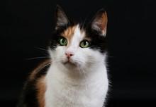 Beautiful Tricolored Cat Head Portrit In The Dark Studio