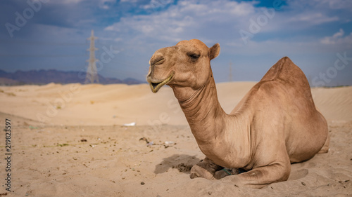 Spoed Foto op Canvas Kameel Camel Sunbathing On Hot Desert