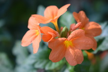 Crossandra Infundibuliformis Is A Species Of Flowering Plant In The Family Acanthaceae