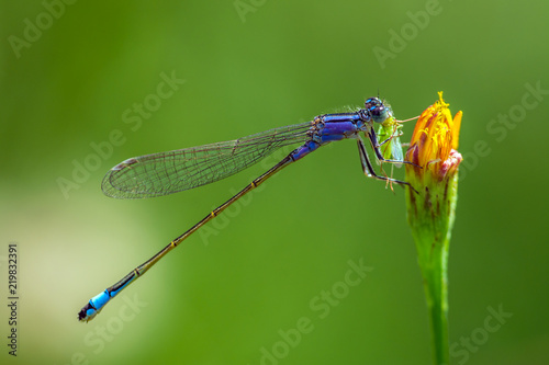 Blue dragonfly on the flower