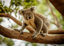 Koala On A Eucalyptus Tree In Queensland, Australia