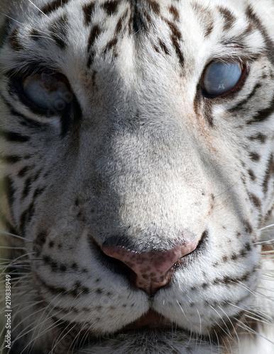 Plakat Ślepy tygrys
