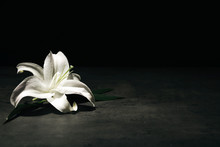 Beautiful Lily On Dark Backgro...