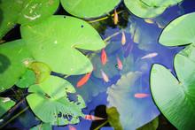 Japanese Koi Carps Fish In The Pond