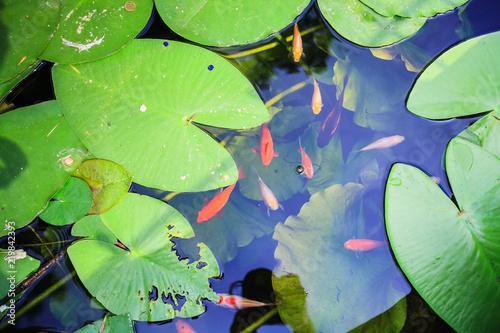Slika na platnu Japanese Koi Carps Fish in the Pond