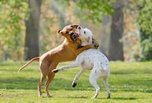 Two Dogs, Rhodesian Ridgeback ...