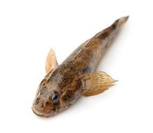 Monkey Goby Fish