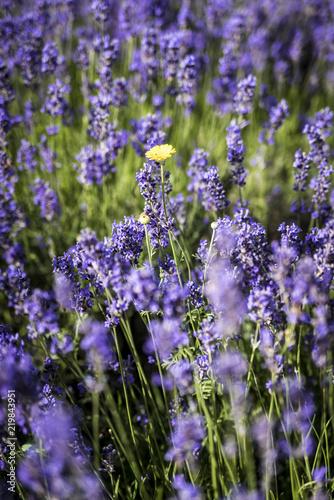 Fotobehang Lavendel lavande et point jaune