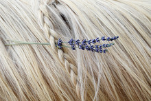 Palomino Horse With Lavender In Braided Mane.