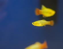 Southern Platyfish, Colorful A...