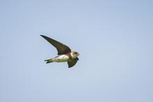 Sand Martin Or Bank Swallow Riparia Riparia In Flight
