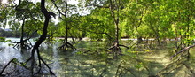 Panorama Of A Mangrove Forest ...
