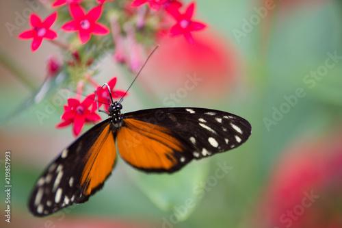 Papillon Orange Noir Et Blanc Pose Sur Une Fleur Rose Buy This
