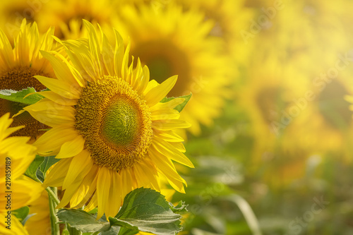 Foto op Canvas Zonnebloem Sunflower field at sunset close up isolated