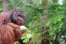 Male Orangutan Enrichment Eati...