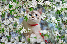 Cat With Blue Eyes Walking Along The Branch Of A Blooming Cherry Tree