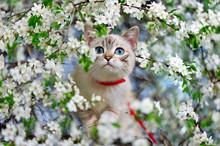 Cat With Blue Eyes Walking Alo...