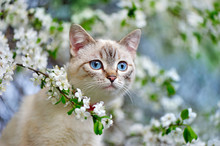 Closeup Portrait Of A Cute Blue Eyed Tabby Kitten