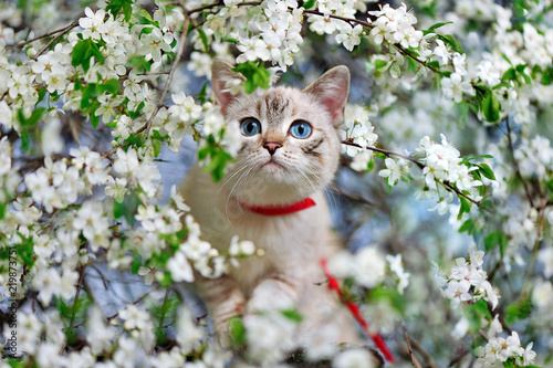 Obraz na plátne Cat with blue eyes walking along the branch of a blooming cherry tree