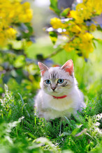 Little Pretty Cat With Blue Eyes Sitting In The Garden