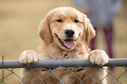 Golden Retriever puppy dog smiling