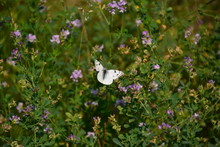 Checkered White Butterfly On S...