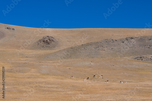 Poster de jardin Desert de sable Wild Tibetan donkey