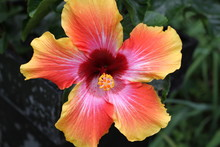 Hibiscus Flower With Deep Green Leaves
