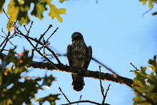 Mississippi Kite Resting On A Branch