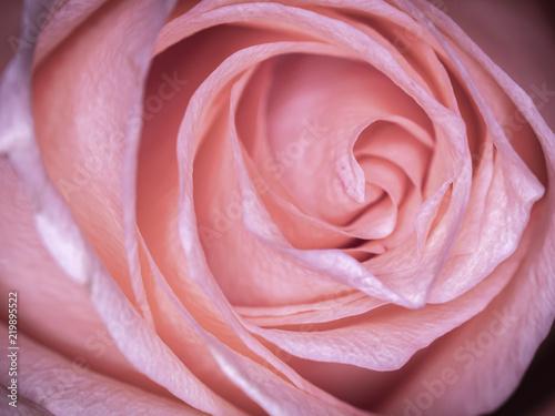 Macro shot of a peach rose