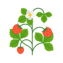 Strawberry Plant With Flower, ...