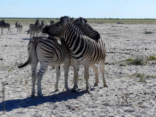 Zdjęcie XXL dwie zebry - Namibia