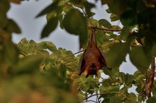 Giant Indian Fruit Bat (Pterop...