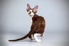 Devon Rex Cat On Colored Backg...