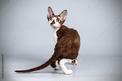 Cuadros en Lienzo Devon rex cat on colored backgrounds