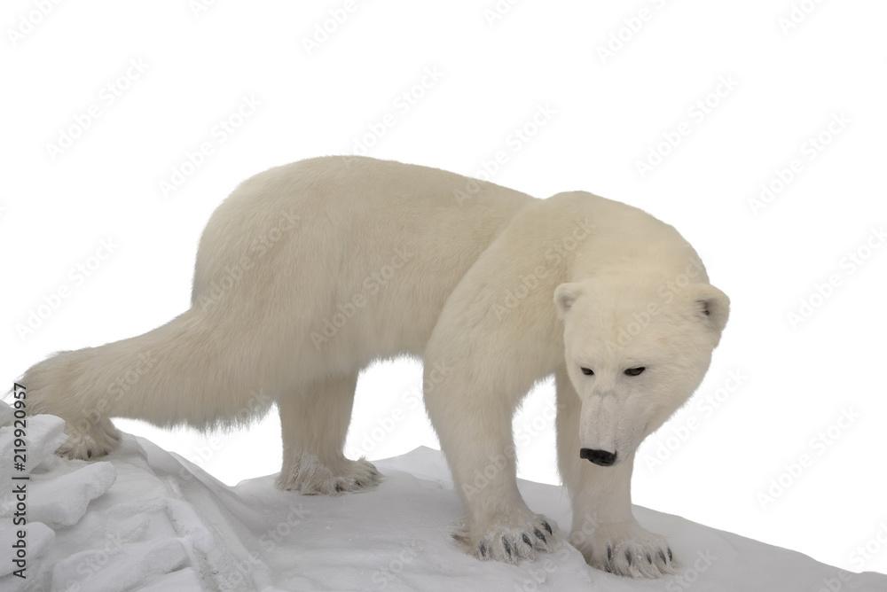 Eisbär freigestellt