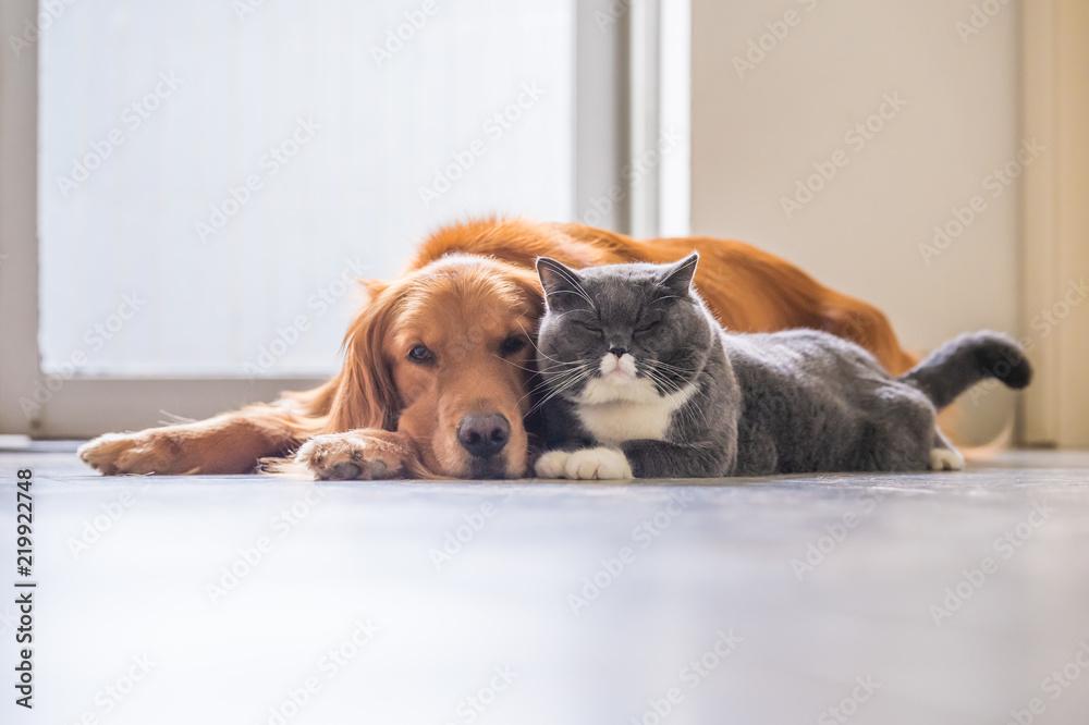Fotografie, Obraz  Golden retriever and British short hair cat