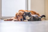 Fototapeta Animals - Golden retriever and British short hair cat