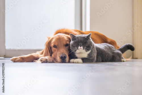 Photo  Golden retriever and British short hair cat