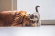 The Golden retriever and the kitten