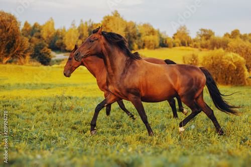Fototapeta Two bay horses gallop along the green grass at sunset