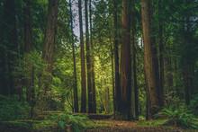 Muir Woods II