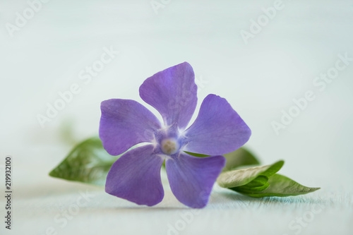 Canvas Print beauty periwinkle on light wooden table