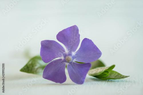 Obraz na plátně beauty periwinkle on light wooden table