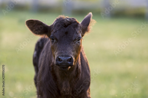 Photo Angus Calf